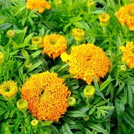 African Marigold Seeds - Cupid Orange