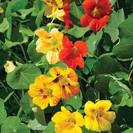 Nasturtium Seeds - Tall Mixed