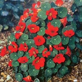 Nasturtium Seeds - Princess Of India