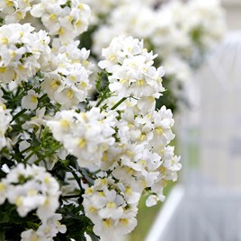 Nemesia Plants - White Perfume