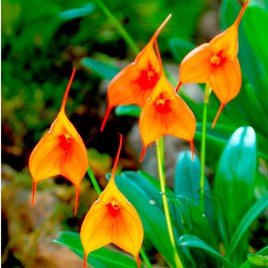 Orchid Masdevallia 9Cm Orange