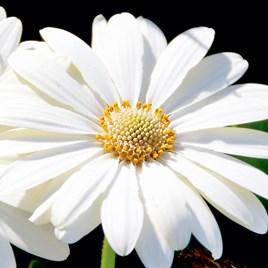 Osteospermum (Hardy) Plant - Snow Pixie