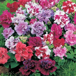 Petunia Seeds - Duo Mixed F1