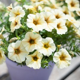 Super Petunia (Beautical) Plants - French Vanilla
