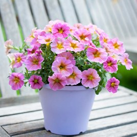 Super Petunia (Beautical) Plants - Sunray Pink