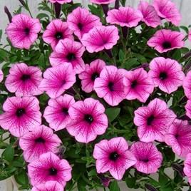 Surfinia Large Flowered Pink Vein (6)