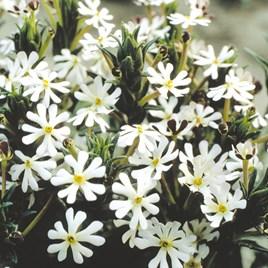 Night-Scented Phlox Seeds