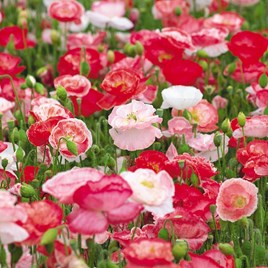 A stunning blend of flower colours, the majority of which have beautiful picotee flower markings. Love Affair has a long flowering period for this typ