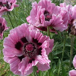 Papaver Manhattan (2)