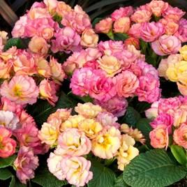 Primrose Seeds - Amore