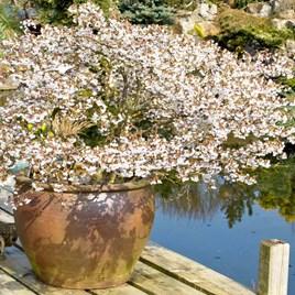 Prunus Incisa Kojo-No-Mai Noble