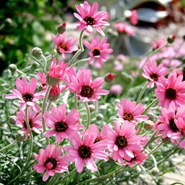 Rhodanthemum Plant - Pretty in Pink