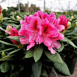 Rhododendron Cosmopolitan