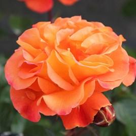 Rose Plant - Precious Amber