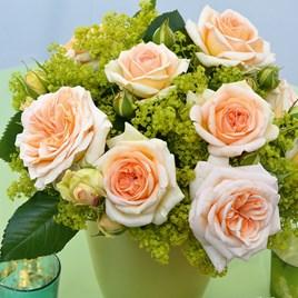 Rose Plant - Timeless Cream