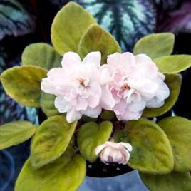 Saintpaulia Pink Mint