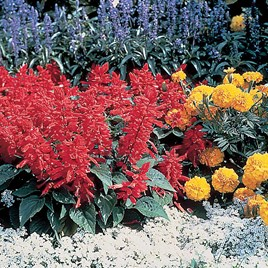 Salvia Splendens Seeds - Firecracker