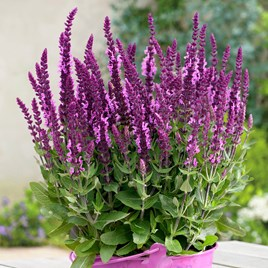 Salvia Sensation Plant - Bright Rose