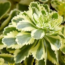 Sedum Plants - Atlantis