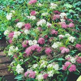 Spiraea Shirobana (Josephs Coat)