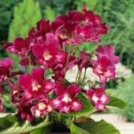 Streptocarpus Plant - Adele