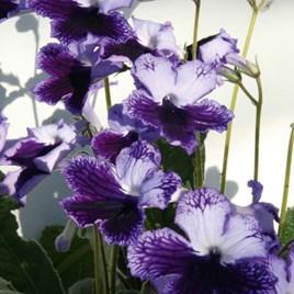 Streptocarpus Plant - Katie