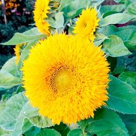 Sunflower Seeds - Teddy Bear