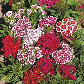 Sweet William Plants - Barbarini