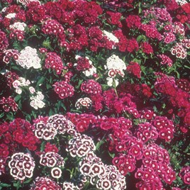 Sweet William Seeds - Dobies Special Mixed