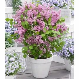 Syringa meyeri 'Flowerfesta'® Pink