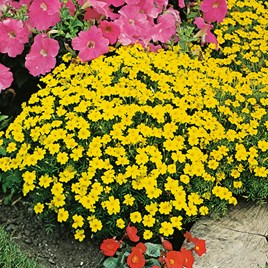 Tagetes Seeds - Lemon Gem