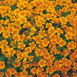 Tagetes Seeds - Tangerine Gem