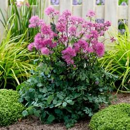 Thalictrum Plant - Little Pinkie
