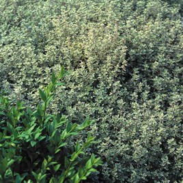 Herb Plant - Silver Queen
