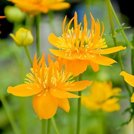Trollius Plant - Golden Queen