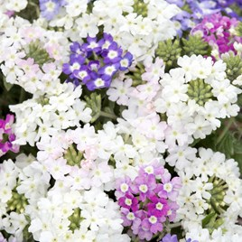 Verbena Seeds - Scentsation