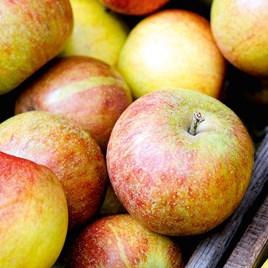 Apple Tree - Braeburn (Clone Helena)
