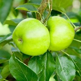 Apple (C) Bountiful