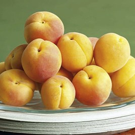 Apricot Tree - Golden Glow