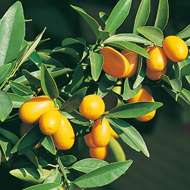 Citrus Tree -Kumquat