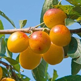 Plum Tree - Yellow Pershore
