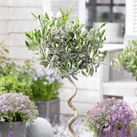 Olive Tree - Twisted Stem Large 21cm 80cm