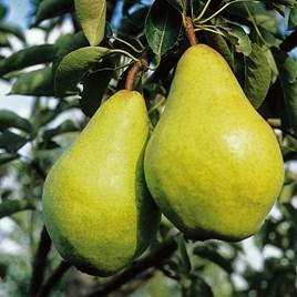 Pear Tree - Williams Bon Chretien