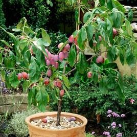 Patio Fruit Tree Plum Victoria 1