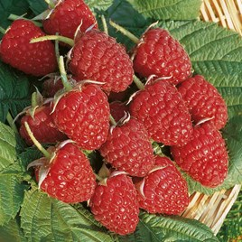 Raspberry Plants - Glen Ample