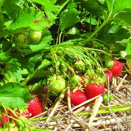 Strawberry Plants - Christine