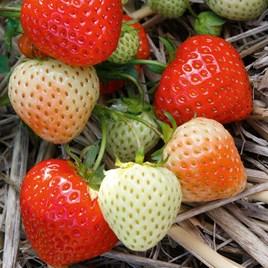 Strawberry Elegance Misted Tip (6)