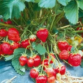 Strawberry Plants - Marshmello