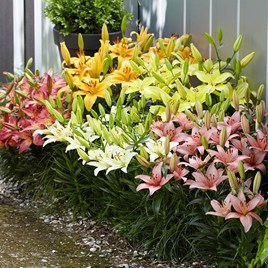 Lily Asiatic Mix