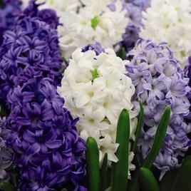 Hyacinth Rhapsody in Blue